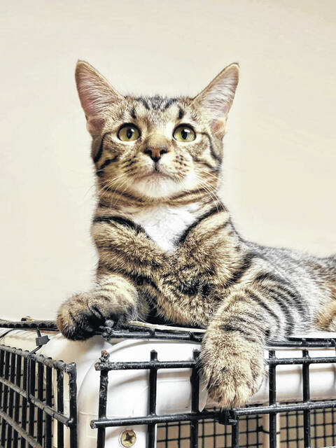 Lady is a 6-month-old spayed female tiger kitten.