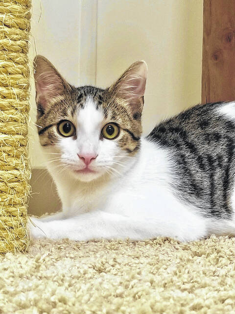 Maverick is a handsome six-month-old male kitten.