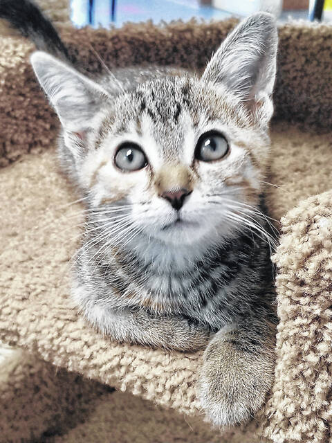 Annie Oakley is a very sweet little female kitten who loves to be held and just purrs and purrs.