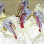 Although no shortage, turkey more expensive this year thanks to Avian Flu