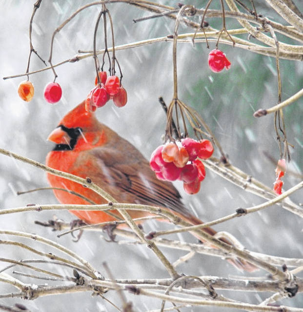 Photo courtesy Crawford Park District Learn about trail cams and how to place them right to get great winter photos, such as this cardinal, captured in one of the Crawford Park District sites. That program is Jan. 23.