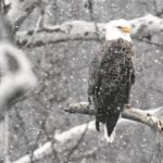 More than 700 bald eagle nests confirmed in Ohio
