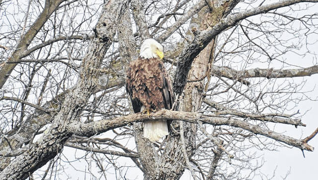 Photo courtesy Jeff Hoffer Bellville Jeff Hoffer was out and about in the Bellville area in April 2018. This bald eagle seemed to be preening for Hoffer's camera. In 2017 there were 253 bald eagles in Ohio. In Ohio this spring, more than 700 nests were discovered.