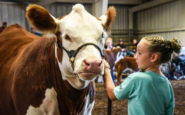 A girl shows her animal during the 2019 Morrow County Fair.