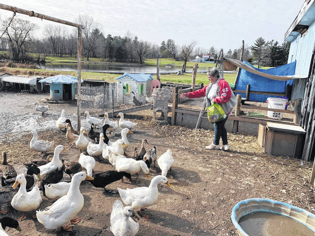 Pam Tischer is the owner and operator of Happy Quack Estate located at 7791 Ohio 309, Galion, just across the street from the Ohio 61/Ohio 309 intersection. She started the shelter for ducks two years ago and now has 65 feathered friends at the facility. For information, call Tisher at 419-631-1299 or go to the Happy Quack Estate page on Facebook.