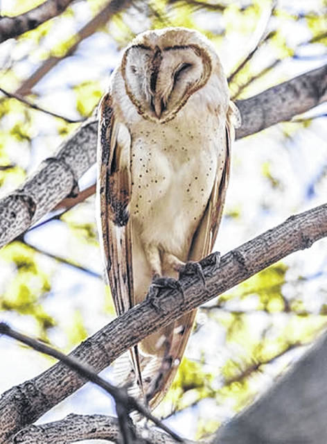 The Central Ohio Owl Project is collecting the sightings and sounds of owls wintering in Ohio. Of special interest are the Barn Owl (shown here), the Long-eared Owl and the Northern Saw-whet Owl.