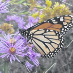 Collecting milkweed pods to create Monarch butterfly habitats