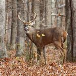 Deer numbers still down from last year