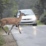 'Tis the season: Be wary of deer while driving