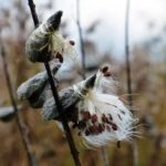 Richland SWCD seeking help to collect milkweed pods