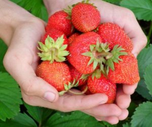 Annual strawberry sale starts soon