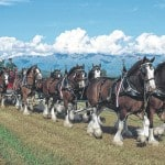 Clydesdales to be in All-Horse Parade