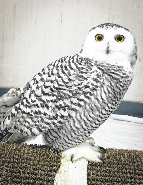 During the Thanksgiving weekend, a driver at the intersection of I-270 and Sawmill Road spotted a snowy owl laying along the side of the intersection, hurt but still alive. The owl was scooped up, wrapped in a towel, and rushed to the Ohio Wildlife Center Hospital not far from the scene of the accident. According to hospital staff, the owl is recovering from the trauma nicely.
