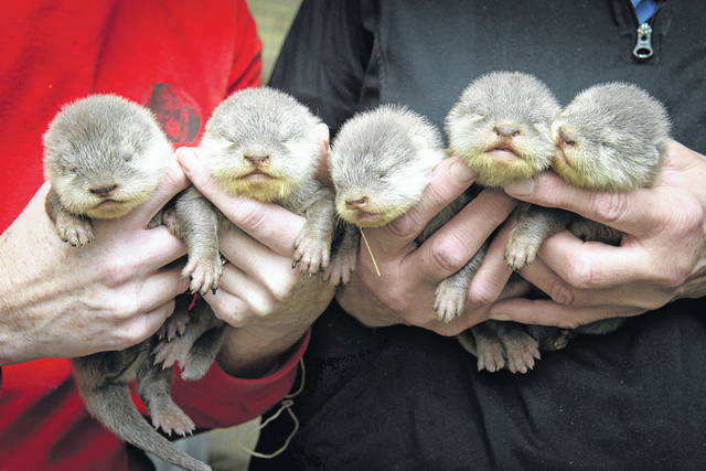 Pictured are the five Asian small-clawed otter pups born on Jan. 26 at the Columbus Zoo and Aquarium.