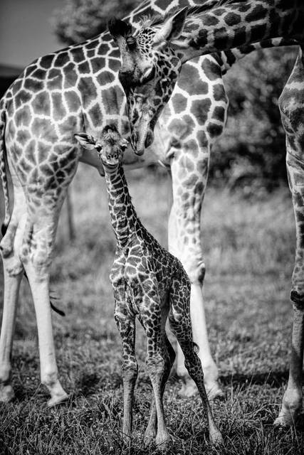 Pictured is the giraffe calf recently born at The Wilds in Cumberland, Ohio.