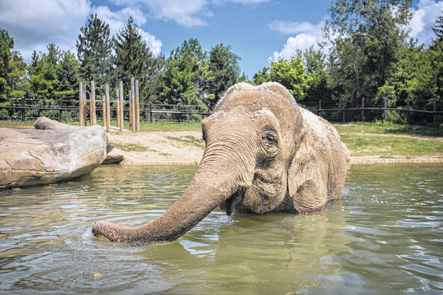 Phoebe, a 31-year-old Asian elephant at the Columbus Zoo, cools off by taking a little dip. The female elephant is expecting her fourth calf.