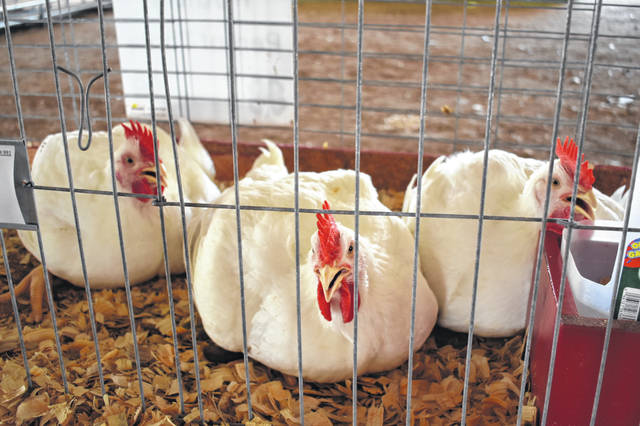 Koebel said he had selected three chickens last week but discovered Friday evening that one of his best chickens had died from the heat and had to use his backup chicken for the competition.