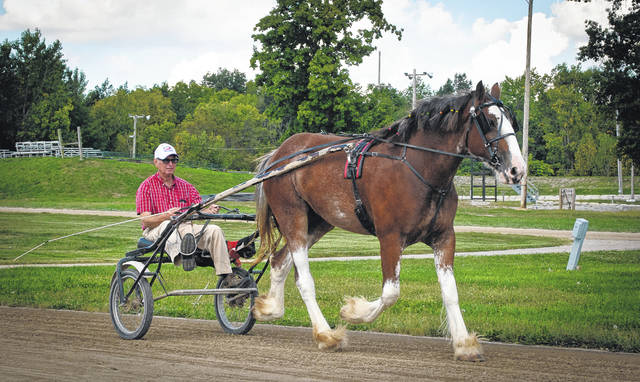 Princess Leia, a two-and-half-year-old, 1,400-pound Clydesdale, has dreams of someday being a pacer and racing in the Little Brown Jug. She is currently housed at the Delaware County Fairgrounds, where she is learning to pull wagons by starting out on something smaller like a racing sulky. Riding in the sulky behind Leia is her trainer, Clem Lee, who has been working with her for the last seven months. According to Greg Nobis of Del City Stables, when Leia was purchased, she was an unruly, 1-year-old wild herd bound filly, but thanks to Sheri Thompson, barn foreman and animal care specialist, she has become a gentle giant. Leia can be seen this Sunday in the All Horse Parade