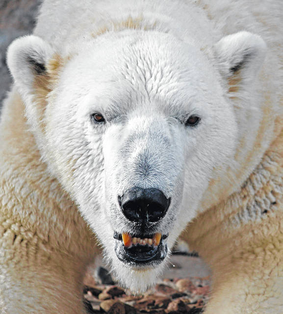 Pictured is Lee, a male polar bear at the Denver Zoo. Lee will be arriving at the Columbus Zoo and Aquarium this fall.