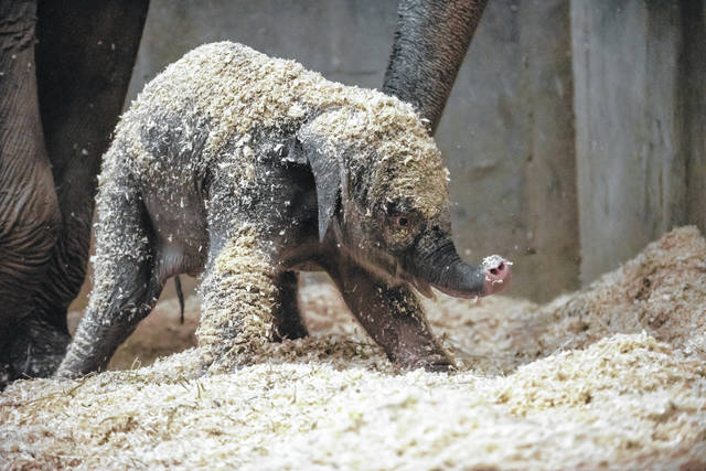 Pictured is the baby Asian elephant born Dec. 6 at the Columbus Zoo and Aquarium.
