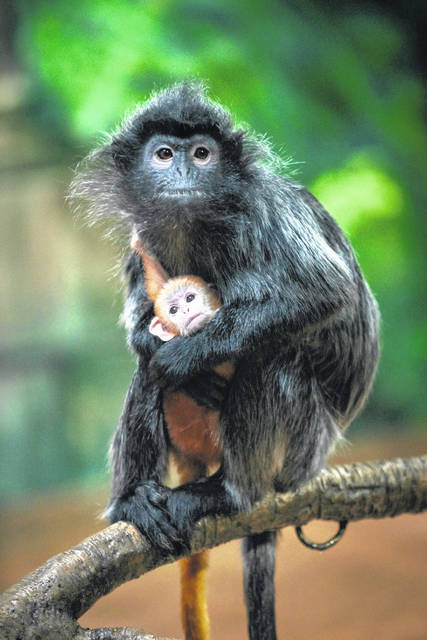 Pictured with one of its parents is a baby silvered leaf langur, which was born at the Columbus Zoo and Aquarium on Jan. 23.