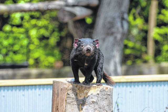For the first time in over two decades, the Columbus Zoo and Aquarium is home to Tasmanian devils. Pictured is one of the new arrivals — Sprout.