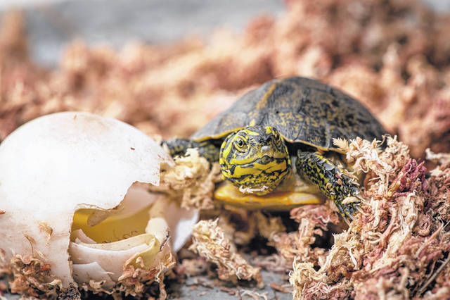 Pictured is a rare yellow-headed temple turtle (Heosemys annandalii) after it hatched in early November at the Columbus Zoo and Aquarium.