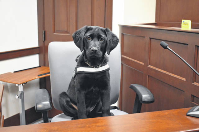 Therapy dog in training, Franklin, sits in the witness stand in Delaware County Juvenile Court Wednesday. Delaware County Juvenile and Probate Court Judge David Hejmanowski said Franklin will be a valuable resource when the court has to conduct interviews or hearings involving child victims.