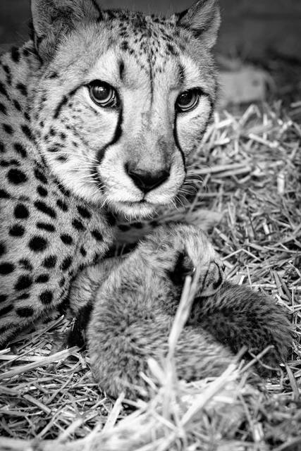 Surrogate Cheetah mother, Isabelle (Izzy), lays next to two cubs she recently gave birth to at the Columbus Zoo and Aquarium.