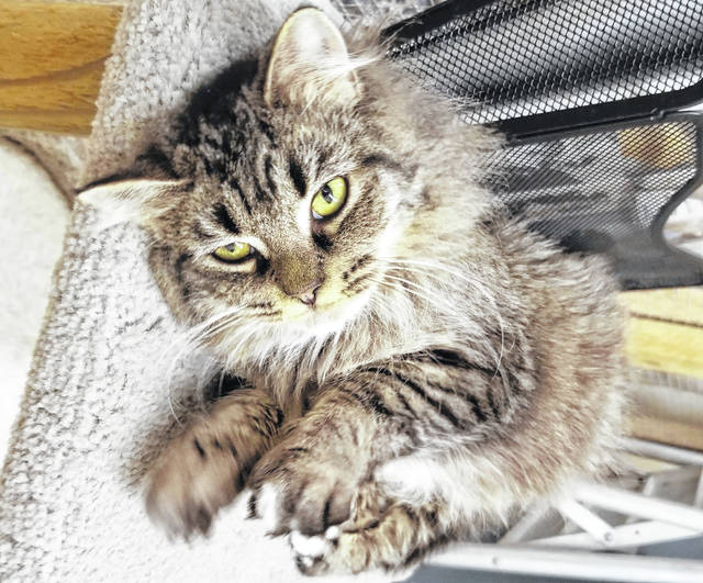 Fish, an adult female domestic mediumhair cat, is currently up for adoption at the Humane Society of Delaware County.