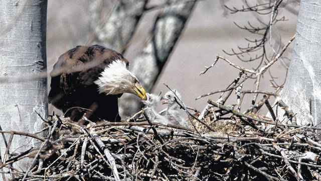 Pictured is a bald eagle feeding two of its young.