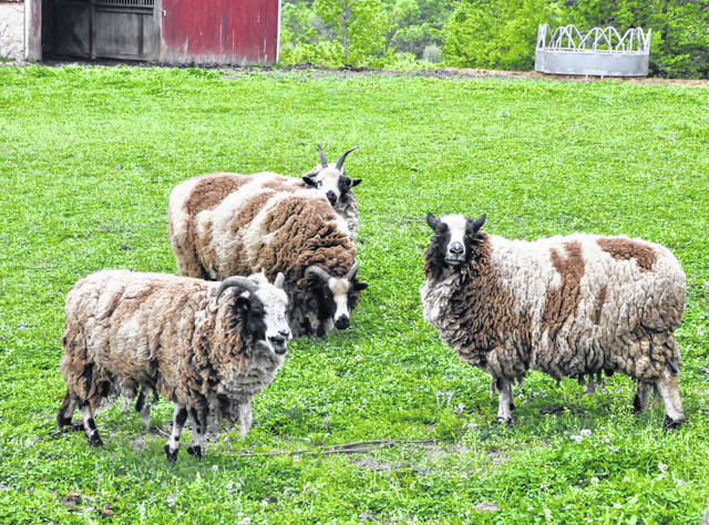 The Bellepoint Rescue Farm located just outside Ostrander in Union County is home to various animals, including these Jacob sheep.
