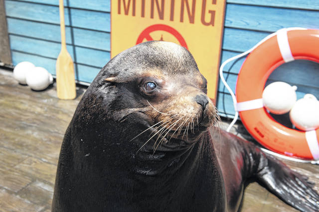 Pictured is one of the Columbus Zoo and Aquarium's sea lions.