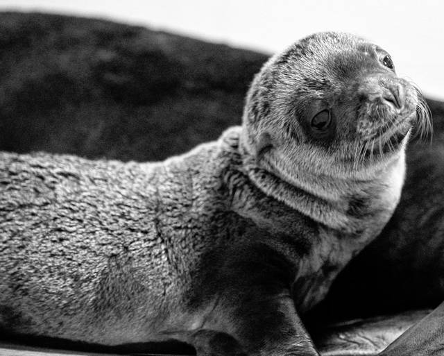 Pictured is the first sea lion pup to be born at the Columbus Zoo and Aquarium. The pup was born June 25.