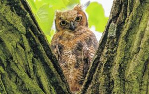 Seeking Ohio's elusive owls