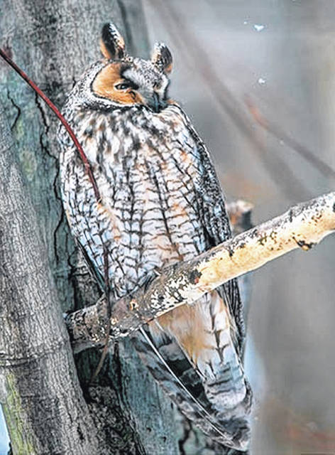 The Central Ohio Owl Project is collecting the sightings and sounds of owls wintering in Ohio. Of special interest are the long-eared owl (shown here), the barn owl and the northern saw-whet owl.