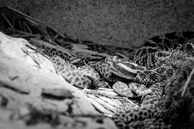 Pictured is one of the massasauga rattlesnake hatchlings at the Columbus Zoo and Aquarium.