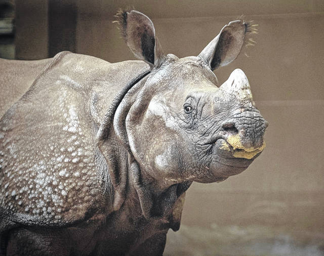 Brian, a greater one-horned rhino, arrived at the Columbus Zoo and Aqaurium on April 9.