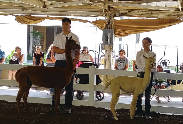 Junior Fair 2021 Alpaca Show exhibitors during this year's competition on Sunday, Aug. 1.