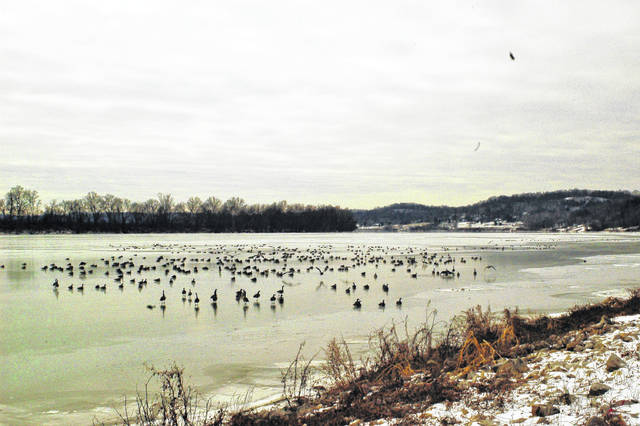 The Ohio River finally gave in to the cold Friday, freezing on its' surface enough for this gaggle of geese to take a break.