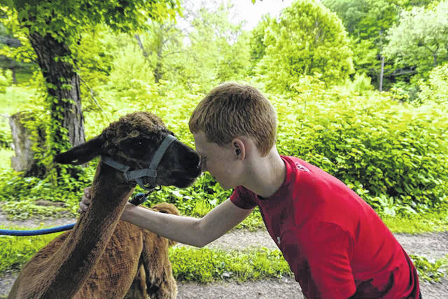 Cole Day receives an alpaca kiss after the animal has been sheared for the year.