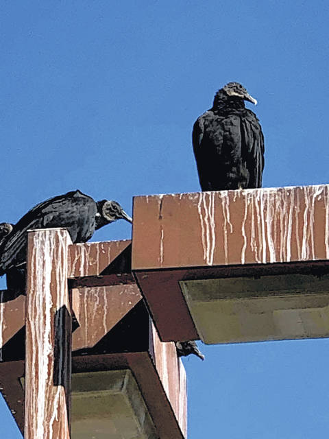 Gallipolis City Commission is looking into mitigating the buzzard issue in the Haskins Park area, expressing concerns the protected birds are destructive to city property as well as a nuisance, posing health and safety issues. (Courtesy)