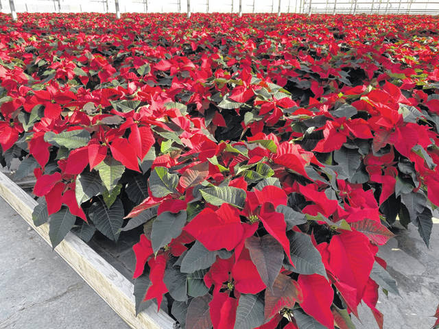 Red as far as one can see fill the greenhouses at Bob's Market and Greenhouses, Inc. in Mason, as it is time for the holiday poinsettias. The traditional red flower makes up 75 percent of Bob's total 70,000 poinsettias this year, which also come in colors such as white, pink, marble, and many others. Pictured is just a section of one of the greenhouses abounding with color. (Mindy Kearns | Courtesy)