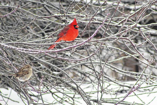 """A fresh coating of snow and ice left many feeling the latest winter weather was """"for the birds"""" on Thursday. Pictured are a Northern Cardinal and sparrow roosting in a cherry tree whose branches were slowly thawing out from the freezing rain which began on Wednesday evening in Mason, Meigs and Gallia counties. (Beth Sergent 