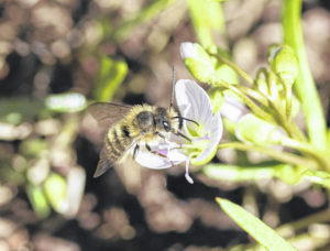 Bees of the Ohio Valley: Mason Bees