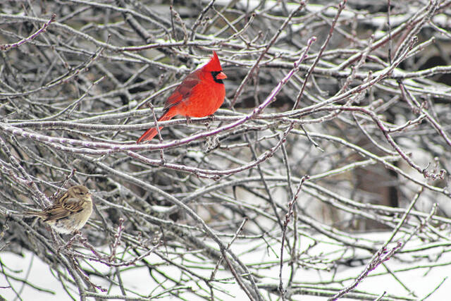 """A free program titled """"Art of Bird Watching"""" is being hosted by the Riverbend Arts Council this Tuesday, Oct. 19. Pictured is a sparrow alongside a cardinal, taken earlier this year, here in the Ohio Valley."""