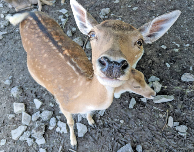 Be prepared to be nuzzled — there are six varieties of deer at the Lagoon Deer Park in Sandusky, and none are shy. They'll approach you, hoping to be fed, and become fast friends.