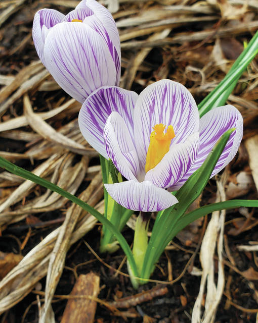 Although it may have been missed by some, spring arrived Thursday, March 19. Many crocuses and other spring bulbs are now in bloom.