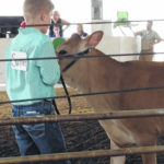 Junior fair shows different animals than normal