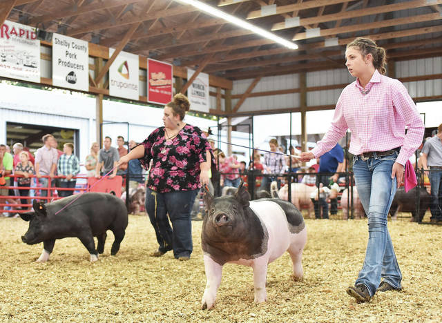 Showing their gilts at the Shelby County Fair Monday, July 23, are Kelsey Zircher, left, 19, of Sidney, daughter of Kevin and Marcella Zircher and Carla Simmons, and Kinley Topp, 16, of Botkins, daughter of Keith and Kindra Topp.